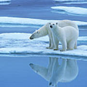 Polar Bear Ursus Maritimus Pair On Ice Poster