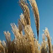 Pompas Grass 1 Poster