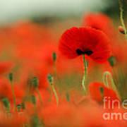Poppy Flowers 01 Poster