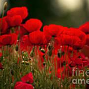 Poppy Flowers 05 Poster