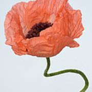 Poppy (papaver Sp.) Poster
