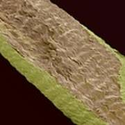Primate Hand Tendon, Sem Poster by Steve Gschmeissner