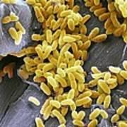 Pseudomonas Aeruginosa Bacteria, Sem Poster