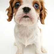 Puppy Poster by Jane Burton