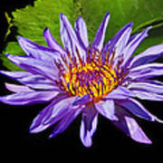 Purple Waterlily Poster