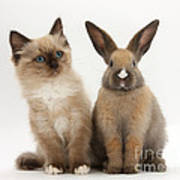 Ragdoll-cross Kitten And Young Rabbit Poster