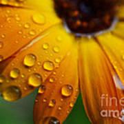 Rainy Day Daisy Poster