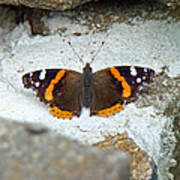 Red Admiral Butterfly - Vanessa Atalanta Poster