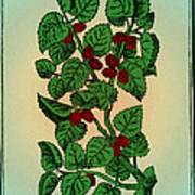 Red Mulberry Poster