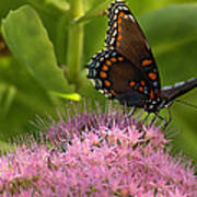 Red Spotted Purple Butterfly On Sedum Poster