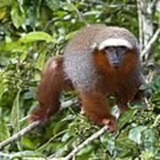 Red Titi Monkey Poster