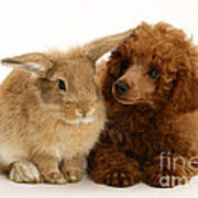 Red Toy Poodle And Rabbit Poster
