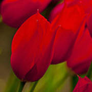 Red Tulips In Holland Poster