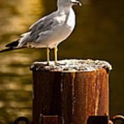 Ring-billed Gull On Pillar Poster