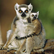 Ring-tailed Lemur Mother And Baby Poster