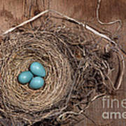 Robins Nest With Eggs Poster