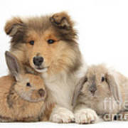 Rough Collie Pup With Two Young Rabbits Poster