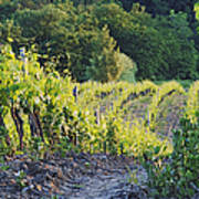 Rows Of Grapevines At Sunset Poster
