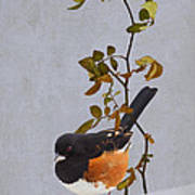 Rufous-sided Towhee Poster