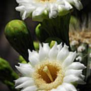 Saguaro Blooms  Poster