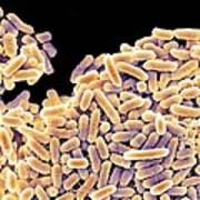 Salmonella Bacteria, Sem Poster by