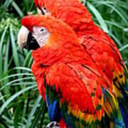 Scalet Macaw Poster