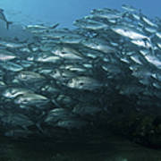 School Of Trevally Swimming By, Bali Poster