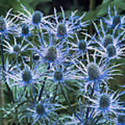 Sea Holly (eryngium X Oliverianum) Poster