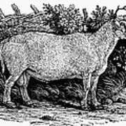 Sheep, C1800 Poster