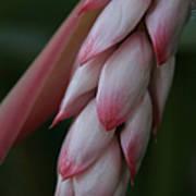Shell Ginger Alpinia Zerumbet Zingerberaceae Maui Hawaii Poster