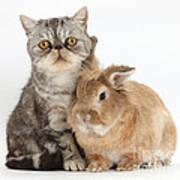 Silver Tabby Cat And Lionhead-cross Poster