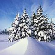 Snow-covered Pine Trees Poster