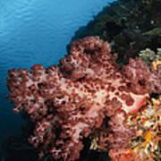 Soft Coral Seascape,  Indonesia Poster