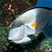 Sohal Surgeonfish Poster by Georgette Douwma