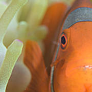 Spinecheek Anemonefish In Anemone Poster