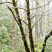 Spring Snow Along Williams River Scenic Byway Poster