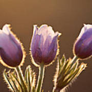 Spring Time Crocus Flower Poster