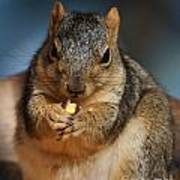 Squirrel Eating Corn Poster