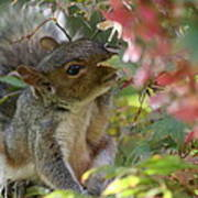 Squirrel In Fall Poster