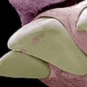 Squirrel Monkey Incisors, Sem Poster by Steve Gschmeissner