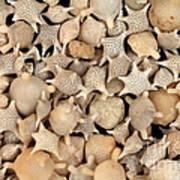 Star Sand Foraminiferans Poster