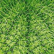 Stinging Nettle Leaf, Sem Poster