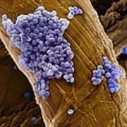 Streptococcus Pneumoniae Bacteria, Sem Poster by Steve Gschmeissner