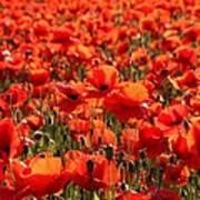 Sun Poppies Poster