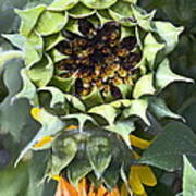 Sunflower 9 Poster