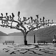sycamore trees in Ascona - Ticino Poster