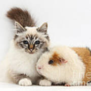 Tabby-point Birman Cat And Guinea Pig Poster