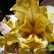 Tall Bearded Iris Named Butterfingers Poster