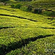 Tea Gardens Poster