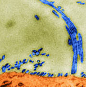 Tem Of Influenza Virus Poster by Science Source